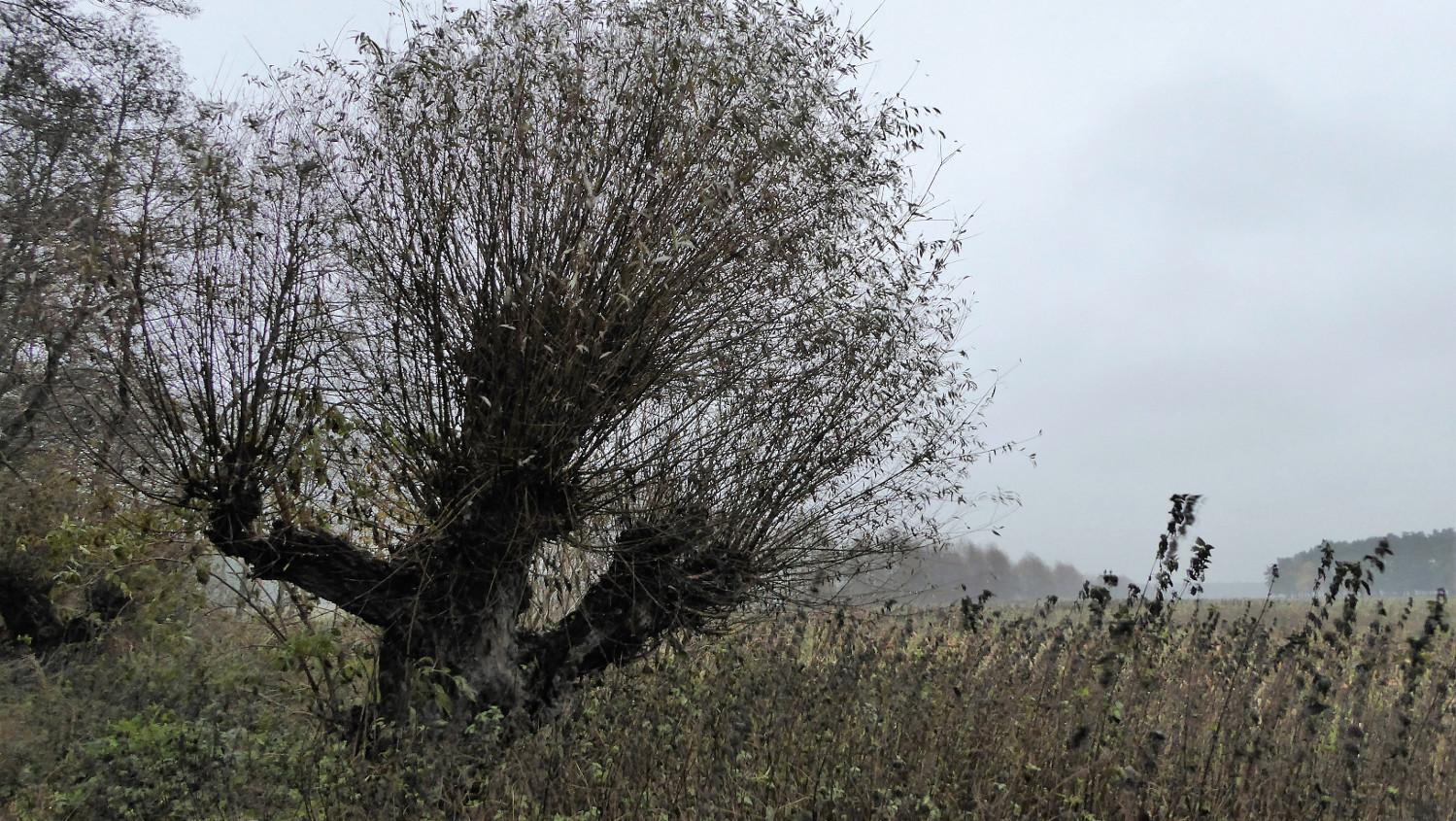 Kopfweide im Herbst