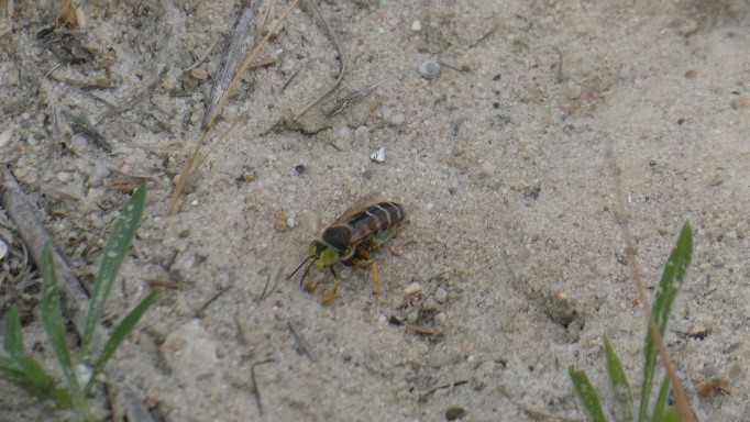 Blattschneiderbiene