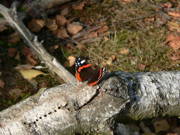 Schmetterling auf Birke