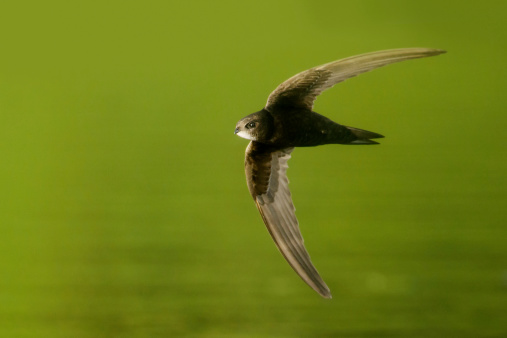 Common swift Mauersegler