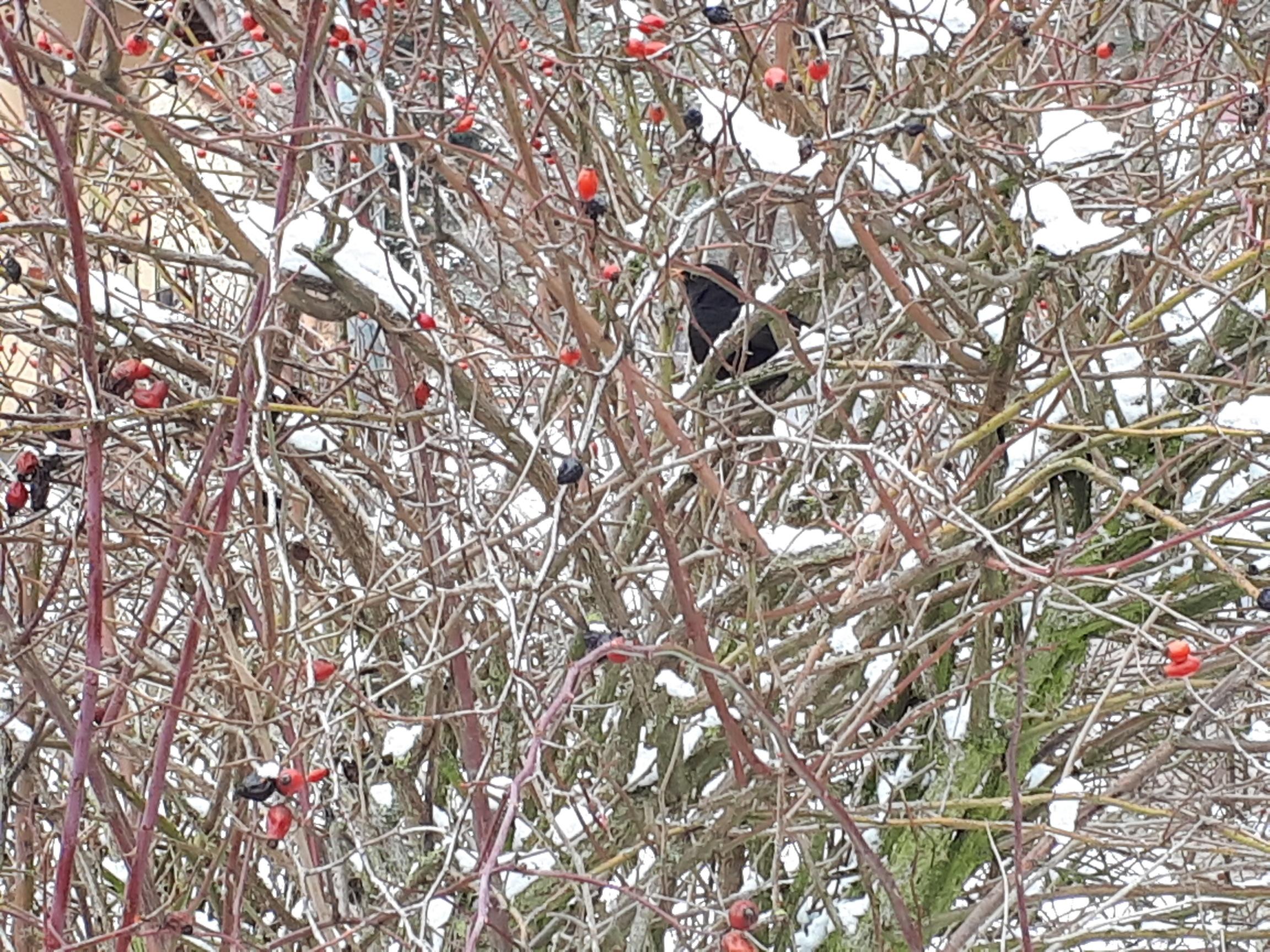 Einheimische Hecken für Vögel