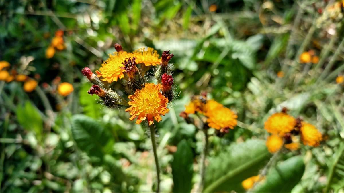 Orange-Rotes-Habichkraut auf der Fläche